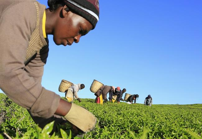 Tea picker in Kenya